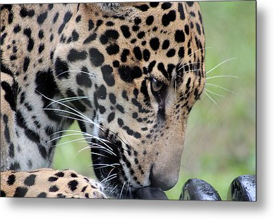 Jaguar And Toy Metal Print