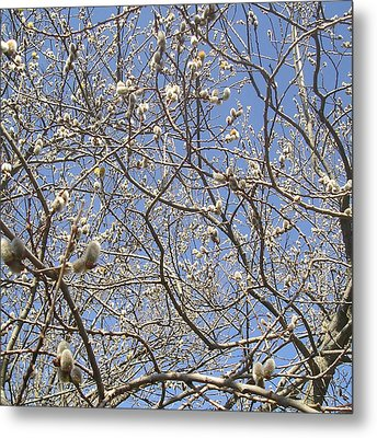 Pussywillows Bursting To Life Metal Print