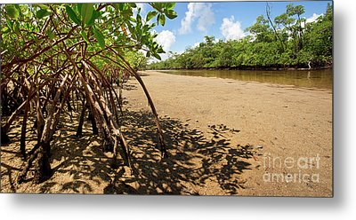 Putting Down Roots - Mangrove Coast In South Florida Metal Print