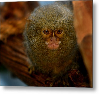 Pygmy Marmoset Metal Print by Anthony Jones