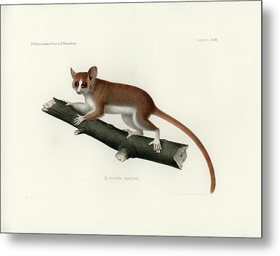 Pygmy Mouse Lemur Metal Print by Hugo Troschel