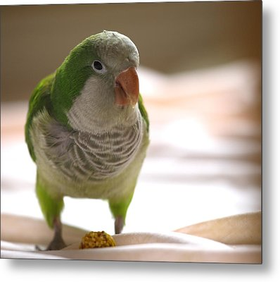 Quaker Parrot Metal Print by Mark Platt