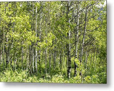 Quaking Aspens 2 Metal Print by Cynthia Powell