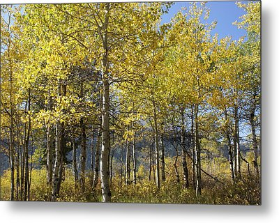 Metal Print featuring the photograph Quaking Aspens by Cynthia Powell