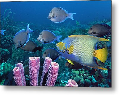 Queen Angelfish And Blue Tangs Metal Print by Georgette Douwma
