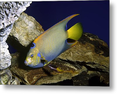 Queen Angelfish Metal Print by Sally Weigand