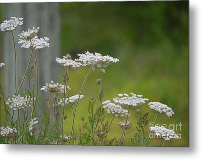 Queen Anne Lace Wildflowers Metal Print by Maria Urso