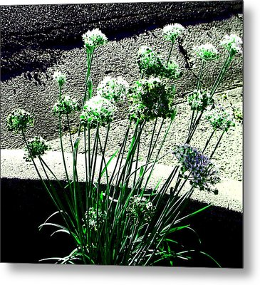 Metal Print featuring the photograph Queen Anne's Lace by Lenore Senior