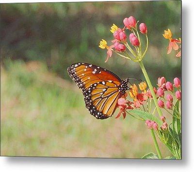 Queen Butterfly On Milkweed Metal Print