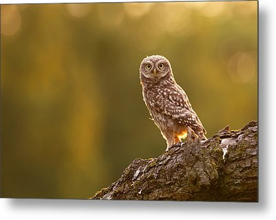 Qui, Moi? Little Owlet In Warm Light Metal Print by Roeselien Raimond