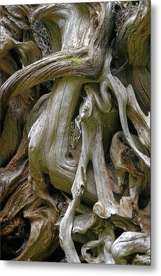 Quinault Valley Olympic Peninsula Wa - Exposed Root Structure Of A Giant Tree Metal Print by Christine Till