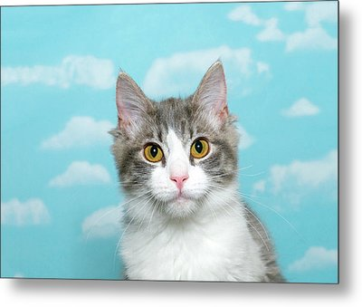 Quizzical Gray And White Tabby Cat Metal Print by Sheila Fitzgerald