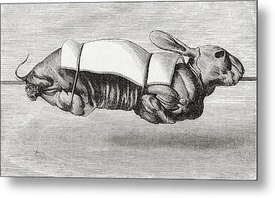Rabbit Dressed And Prepared For Spit Metal Print by Vintage Design Pics