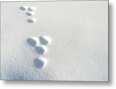Rabbit Footprints In The Snow 2 Metal Print by Jack Dagley