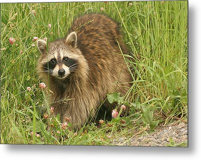 Metal Print featuring the photograph Raccoon  by Doris Potter