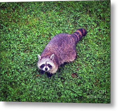 Metal Print featuring the photograph Raccoon  by Kerri Farley