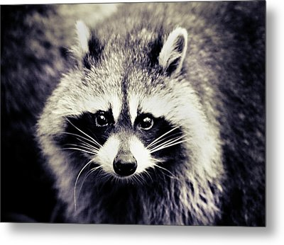 Raccoon Looking At Camera Metal Print by Isabelle Lafrance Photography