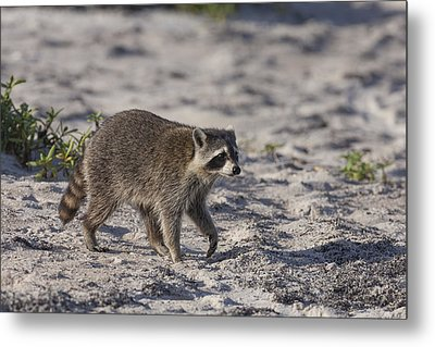 Raccoon On The Beach Metal Print