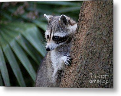 Raccoon Metal Print by Scott Pellegrin