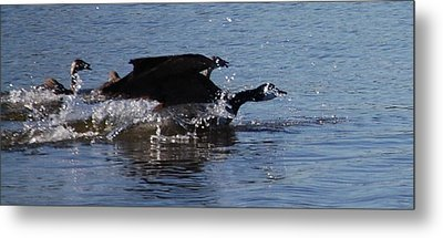 Metal Print featuring the photograph Racing Geese by Sumoflam Photography