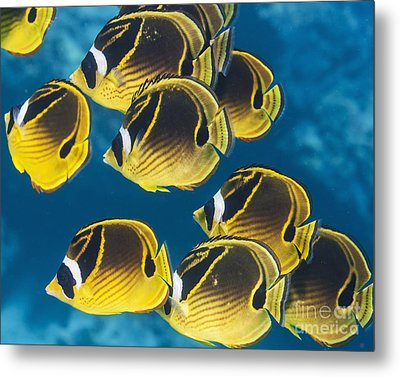 Racoon Butterflyfish  Chaetodon Lunula Metal Print