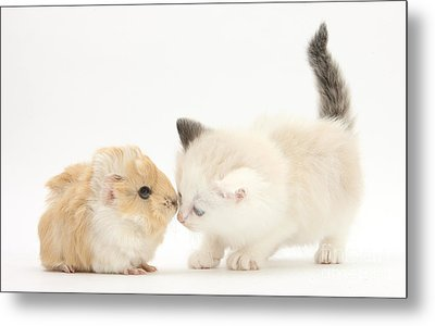 Ragdoll-cross Kitten And Baby Guinea Pig Metal Print