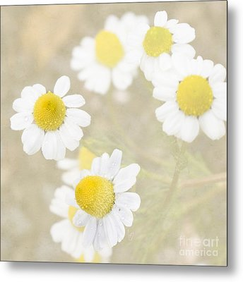 Rain-kissed Chamomile Metal Print