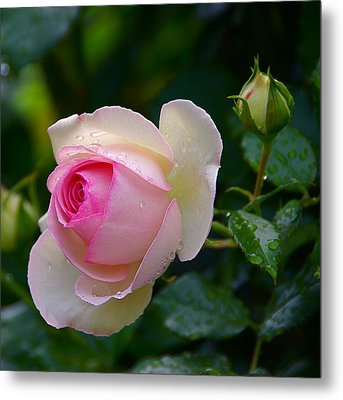 Metal Print featuring the photograph Rain-kissed Rose by Byron Varvarigos