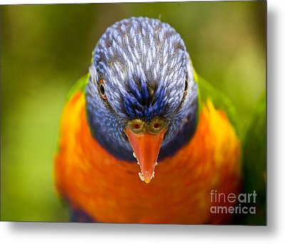 Rainbow Lorikeet Metal Print by Avalon Fine Art Photography