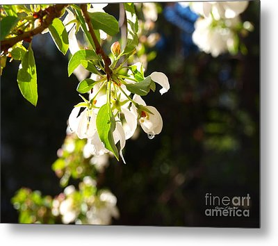 Raindrops On Crab Apple Blossoms Metal Print by Christine S Zipps