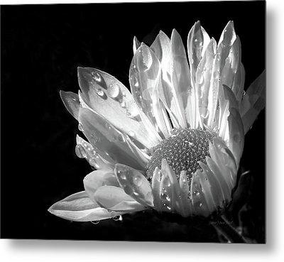 Raindrops On Daisy Black And White Metal Print by Jennie Marie Schell