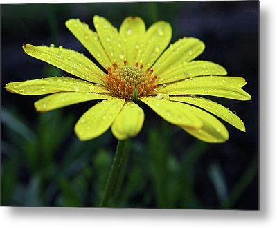 Metal Print featuring the photograph Raindrops On Daisy by Judy Vincent