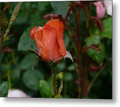Rainy Rose Bud Metal Print