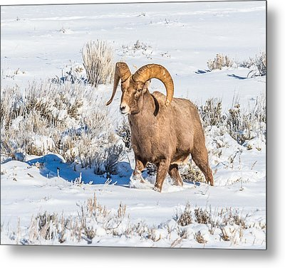 Metal Print featuring the photograph Ram In Rut by Yeates Photography
