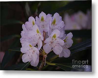 Randolph County Rhododendron Metal Print