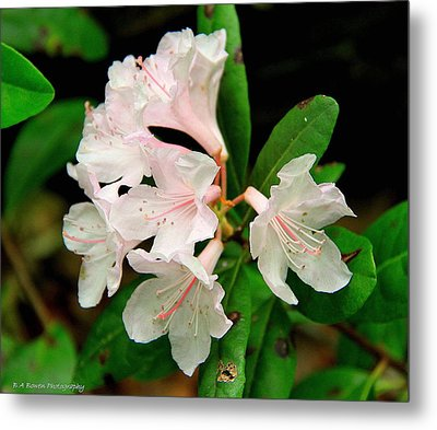Metal Print featuring the photograph Rare Florida Beauty - Chapmans Rhododendron by Barbara Bowen