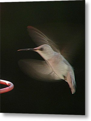 Rare White Hummer In Flight Metal Print by Rick Friedle