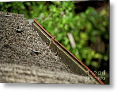 Rat Snake Metal Print by Venura Herath