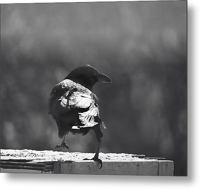 Metal Print featuring the photograph Raven In The Sun by Susan Capuano
