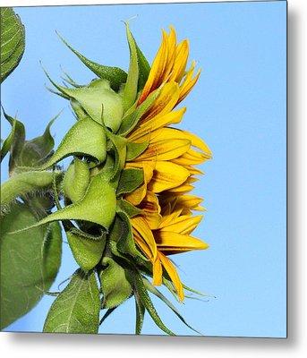 Reaching Sunflower Metal Print