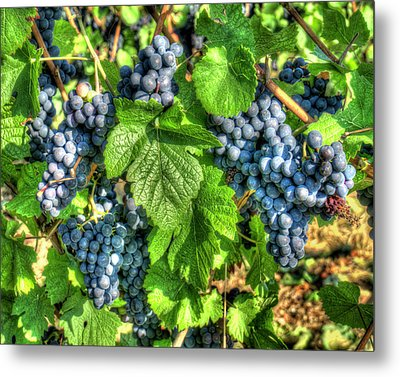 Metal Print featuring the photograph Ready For Harvest by Alan Toepfer