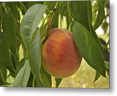 Ready For Picking 2904 Metal Print by Michael Peychich