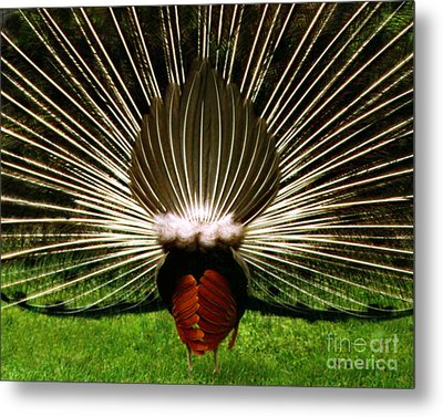 Metal Print featuring the photograph Rear End Of Peacock In Full Aray by Merton Allen