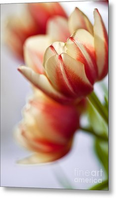 Red And White Tulips Metal Print by Nailia Schwarz
