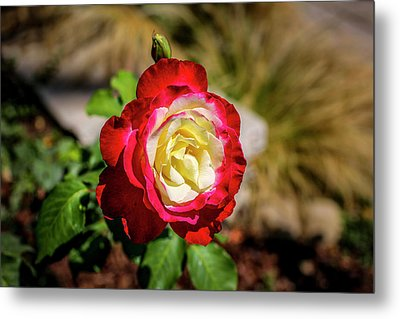 Red And Yellow Rose Metal Print