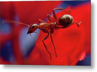 Metal Print featuring the photograph Red Ant Macro by Jeff Folger