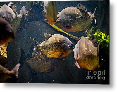 Red Bellied Hungry Piranha Metal Print by Arletta Cwalina