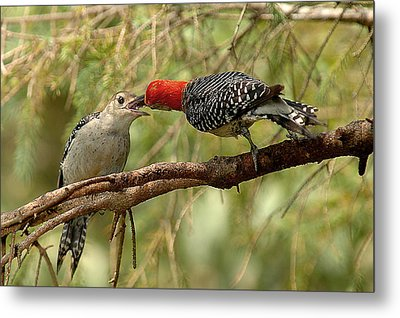 Red Bellied Woodpecker Feeding Young Metal Print by Alan Lenk