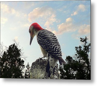 Red-bellied Woodpecker - Tree Top Metal Print by Al Powell Photography USA