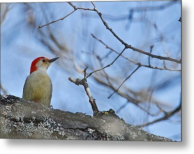 Metal Print featuring the photograph Red-bellied Woodpecker 1137 by Michael Peychich